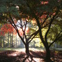 Autumn colours (Acer palmatum (Japanese maple))