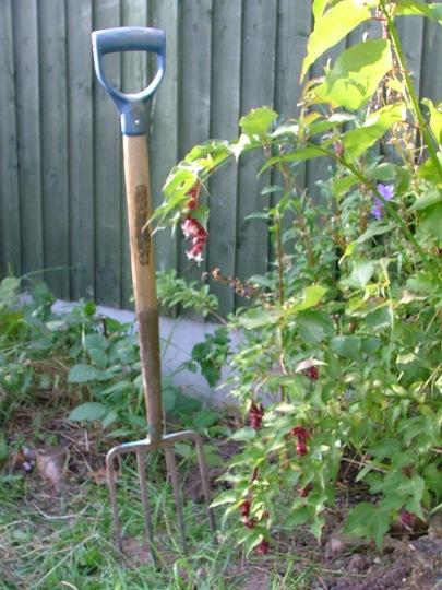 Pheasant Berry in garden  (Leycesteria formosa (False Nutmeg))