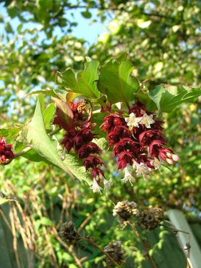 Pheasant Berry flowers (Leycesteria formosa (False Nutmeg))