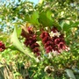 Pheasant Berry flowers (Leycesteria formosa (False Nutmeg))