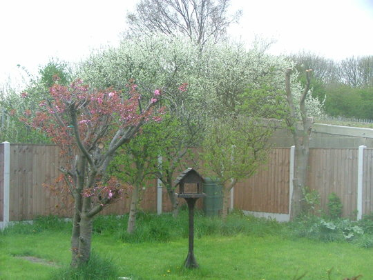 Cherry blossom appearing