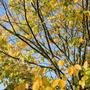 American Yellowwood (Cladrastis Kentuckea)