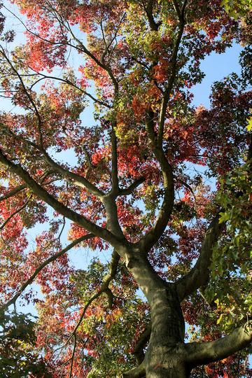 Scarlet Oak (Quercus coccinea 'Splendens')