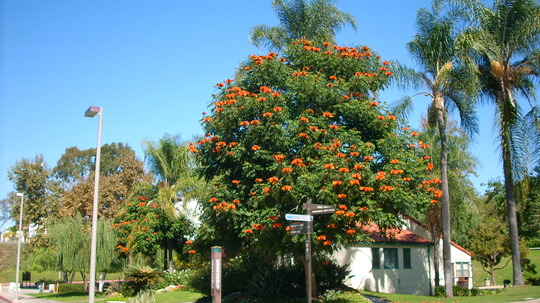 Spathodea campanulata - African Tulip Tree (Euphorbia contonifolia - Copper Leaf Tree)