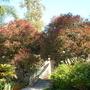 Euphorbia contonifolia - Copper Leaf Tree (Euphorbia contonifolia - Copper Leaf Tree)