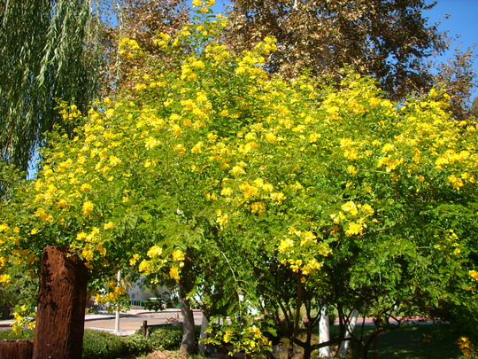 Cassia surattensis - Singapore Cassia (Cassia surattensis - Singapore Cassia)