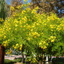 Cassia surattensis - Singapore Cassia (Cassia surattensis)