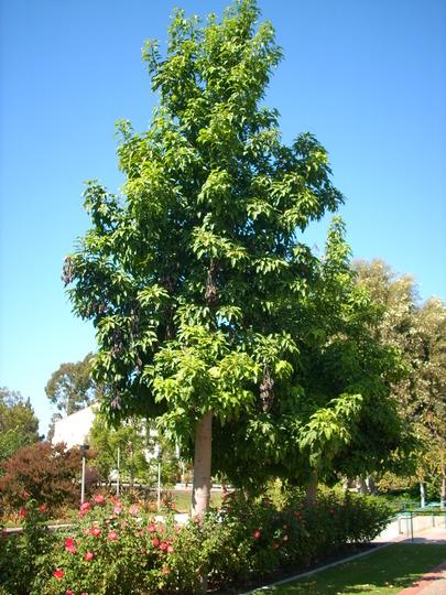 Brachychiton acerifolius - Australian Flame Tree (Brachychiton acerifolius - Australian Flame Tree)