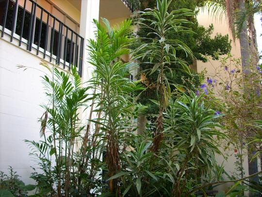 Dracaena deremensis 'warneckii'/Chamaedorea seifrizii (Dracaena deremensis 'warneckii')