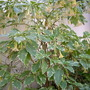 Brugsmania candida 'variegata' - Variegated Angel's Trumpet (Brugsmania candida 'variegata')