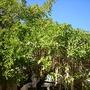 Sausage Tree - Kigelia africana (Kigelia africana (Sausage Tree))