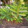 Alpinia zerumbet 'variegata' - Variegated Shell Ginger (Alpinia zerumbet 'variegata')