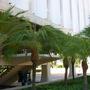 Phoenix roebelenii - Pigmy Date Palm (Phoenix roebelenii - Pigmy Date Palm)