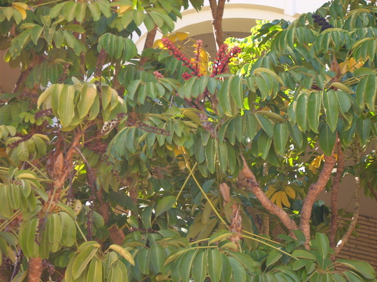 Schefflera actinophylla - Queensland Umbrella Tree (Schefflera actinophylla (Australian Ivy-palm))