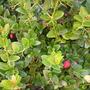 Carissa macrocarpa - Natal Plum (Carissa macrocarpa - Natal Plum)