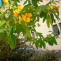 Cassia spendida - Golden Wonder Cassia (Cassia spendida - Golden Wonder Cassia)