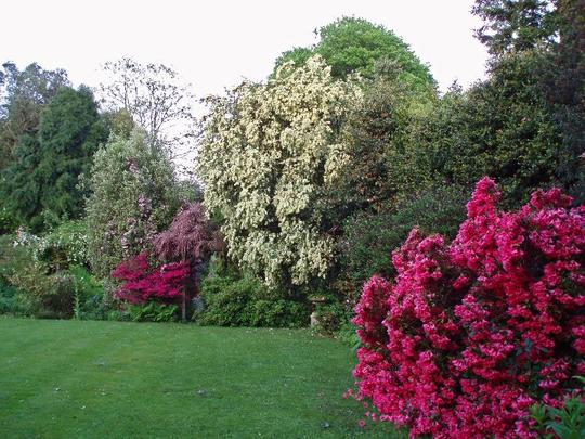 Part of the South Lawn at Moyclare, Liskeard (Rhododendron 'Winsome' and 'Amomyrtus apiculata')