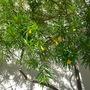 Thevetia peruviana - Lucky Nut/Yellow Oleander (Thevetia peruviana (Ahouai des Antilles))