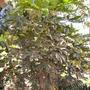 Dizygotheca elegantissima - False Aralia (Dizygotheca elegantissima - False Aralia)
