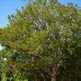 Erythrina caffra - Kaffir Tree (Erythrina caffra - Kaffir Tree)