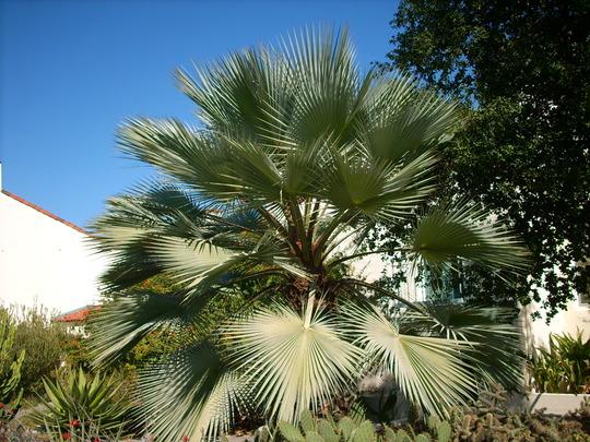 Brahea armata - Mexican Blue Palm (Delonix1 By You)