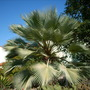 Brahea armata - Mexican Blue Palm (Brahea armata - Mexican Blue Palm)