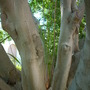 Ficus benjamina - Weeping Fig Tree (Ficus benjamina - Weeping Fig Tree)