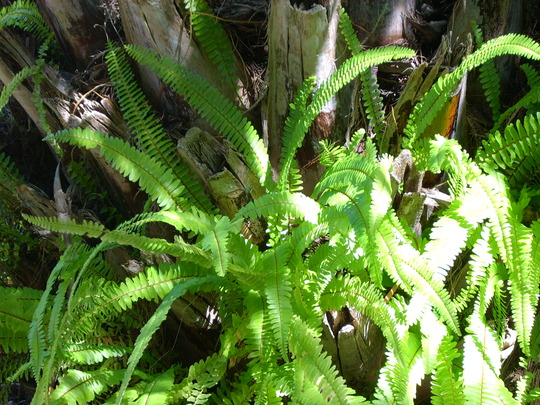 Boston Ferns in a Canary Island Palm  (Nephrolepis exaltata)