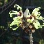 Hamamelis x intermedia 'Pallida' (Hamamelis x intermedia 'Pallida')