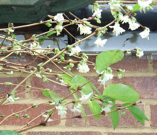 lonicera x purpusii 39 winter beauty 39 2 grows on you. Black Bedroom Furniture Sets. Home Design Ideas
