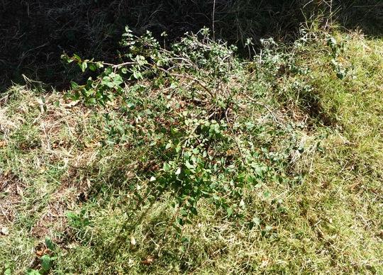 Abelia.jpg (Abelia biflora)