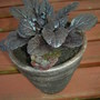 Ajuga reptans (&quot;Bugle&quot;)
