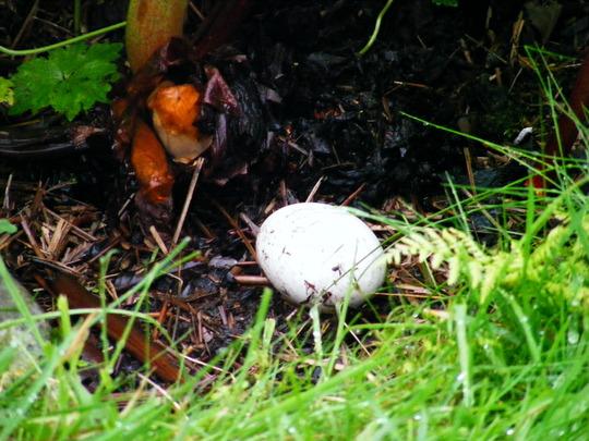 Jemima Puddle-Duck's Egg