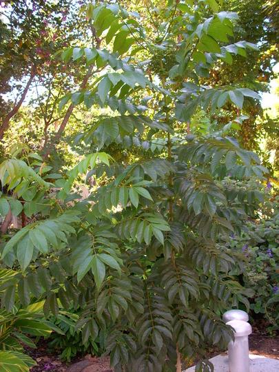 Spathodea canpanulata - African Tulip Tree  (Spathodea canpanulata - African Tulip Tree)