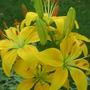 lily garden 07 (lilium)