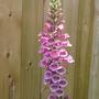foxglove  (Digitalis purpurea (Common foxglove))