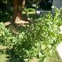 Erythrina caffra - Kaffir Tree (Erythrina caffra)