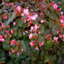 Begonia richmondensis - Richmond's Begonia (Begonia richmondensis)