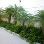 Phoenix robellenii - Pygmy Date Palm (Phoenix robellenii - Pygmy Date Palm)