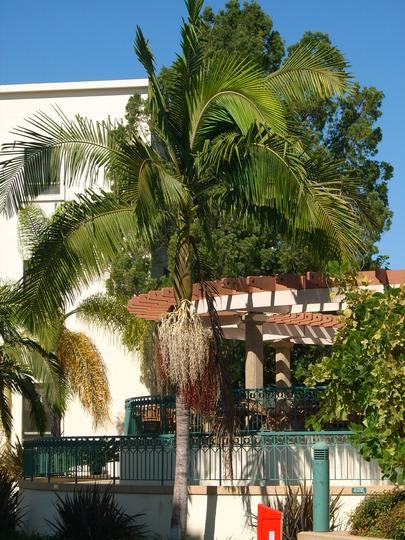 Archontonphoenix cunninghamiana - King Palm (Archontonphoenix cunninghamiana - King Palm)