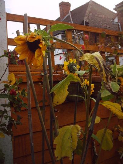 sunflower_going_over.jpg