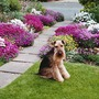 SPRING TIME FRONT GARDEN ~  My Welsh Terrier 'Bonsai' surrounded by aubrieta.