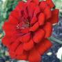 Red Zinnia (Zinnia)