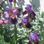 Bearded Iris (Iris germanica (Orris))