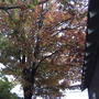 Fall has decended on my maples