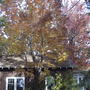 Ash tree in fall (Fraxinus americana (American Ash))