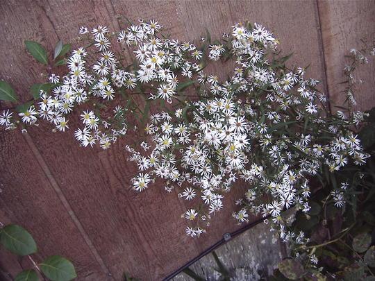 Pretty asters (Erigeron annuus)