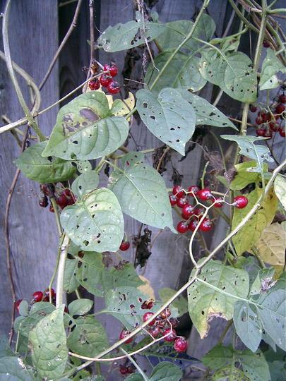 Nightshade berries (Solanum dulcamara (Bitter Nightshade))
