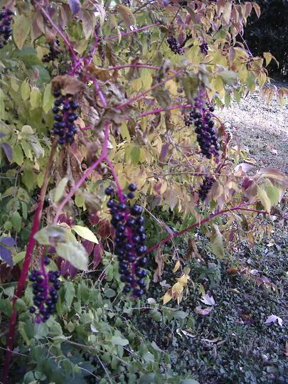 Pokeberry shrubs (Phytolacca americana (American Ink Berry))