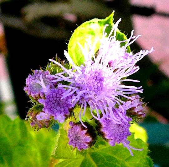 Ageratum (Ageratum houstonianum)